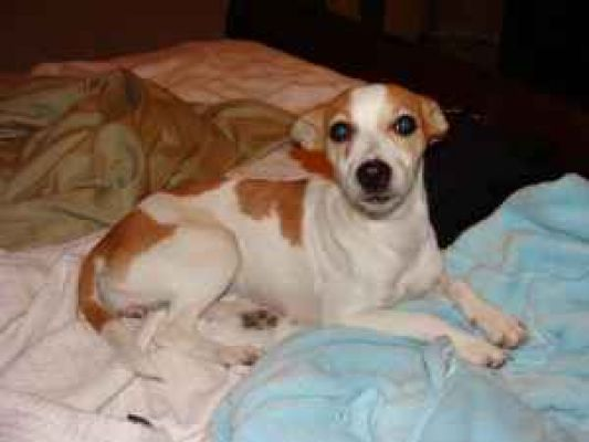876 Tan White Rat Terrier Or Chihuahua Bastrop